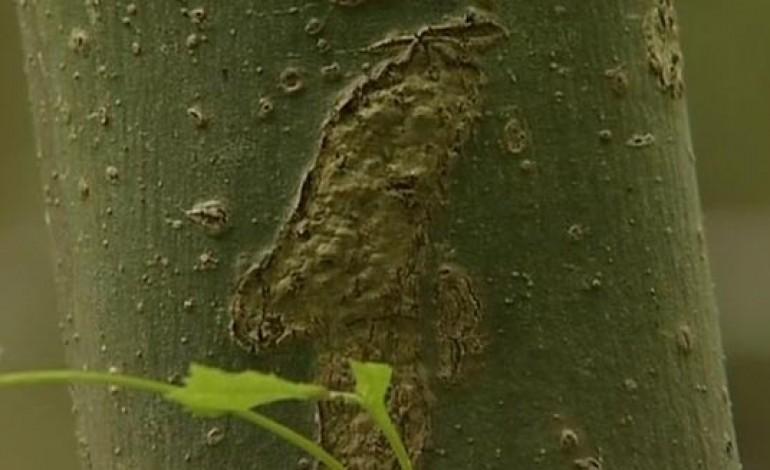 CONFIRMED ASH TREE DISEASE CASE IN AYCLIFFE